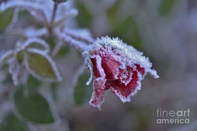Roses Photograph - The Last Beauty Of A Rose by Gunn Samuelsen