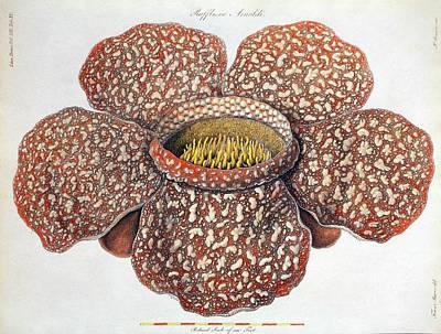 1820 First Description Rafflesia Flower Print by Paul D Stewart