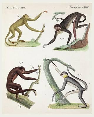 New World Photograph - 1820 New World Monkeys Prehensile Tail by Paul D Stewart