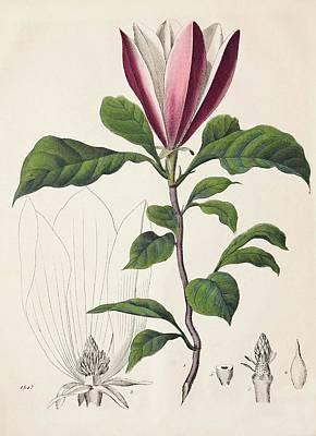 1847 Magnolia Primitive Flower Bracts Print by Paul D Stewart