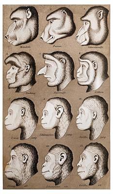 Eugenics Photograph - 1870 Haeckel Ape Monkey Illustration by Paul D Stewart
