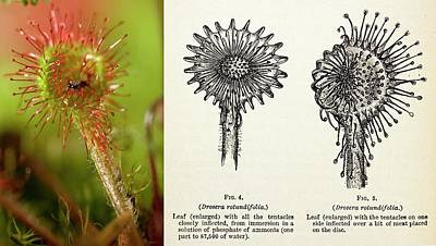 1875 Photograph - 1875 Darwin Insectivorous Plant Drosera by Paul D Stewart