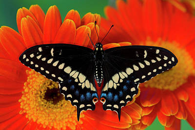 Gerber Daisy Photograph - Black Swallowtail Butterfly, Papilio by Darrell Gulin
