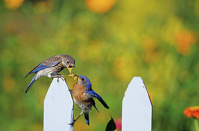 Bird And Worm Photograph - Eastern Bluebird (sialia Sialis by Richard and Susan Day