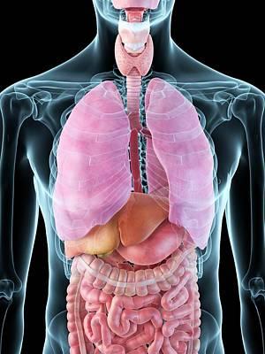 Human Internal Organs Print by Sciepro
