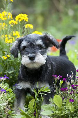 Schnauzer Puppy Dog Print by John Daniels