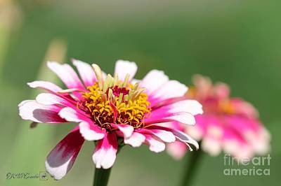Zinnia From The Whirlygig Mix Print by J McCombie