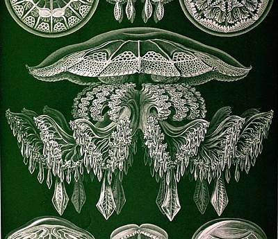 1904 Haeckel's Mistress Frida's Jellyfish Print by Paul D Stewart