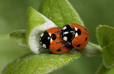 Pairings Photograph - 7-spot Ladybirds by Nigel Downer