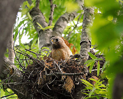 Red Photograph - Adult Red Shouldered Hawk by Jai Johnson