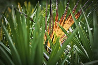 Palmetto Plants Photograph - Aging Palmetto by Patrick M Lynch