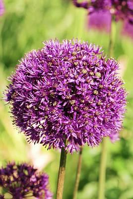 Allium Hollandicum 'purple Sensation' Print by Adrian Thomas