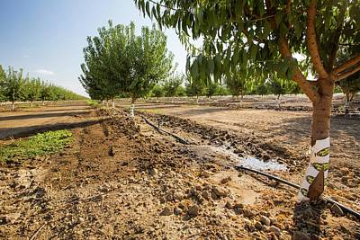 Almond Tree Photograph - Almond Trees Being Irrigated by Ashley Cooper