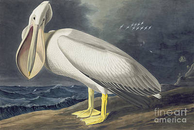 Pelican Drawing - American White Pelican by Celestial Images