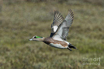 Us Fauna Photograph - American Wigeon Drake by Anthony Mercieca