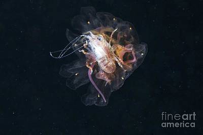 Amphipod Inside A Lions Mane Jellyfish Print by Alexander Semenov