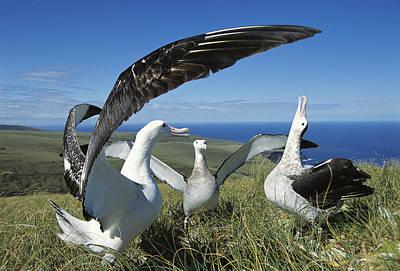 Antipodean Albatross Courtship Display Print by Tui De Roy