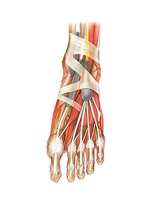 Arteries Photograph - Arterial System Of The Foot by Asklepios Medical Atlas
