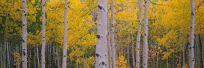 Aspen Trees In A Forest, Telluride, San Print by Panoramic Images