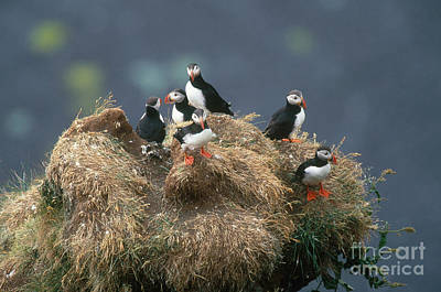 Puffin Photograph - Atlantic Puffins by Art Wolfe