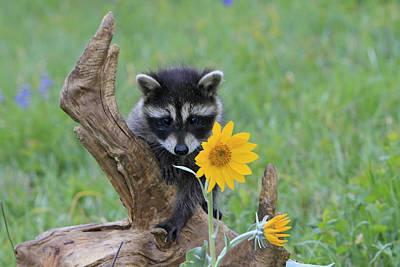 Raccoon Photograph - Baby Raccoon by M. Watson