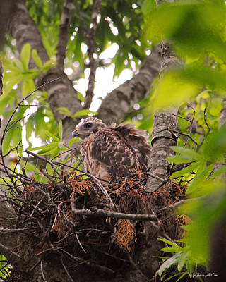 Red Photograph - Baby Red Shouldered Hawk In Nest by Jai Johnson