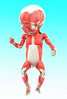 Baby's Muscular System Print by Pixologicstudio