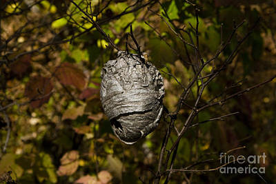 Bald-faced Hornet Nest Print by Linda Freshwaters Arndt
