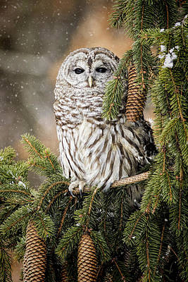 Flurries Photograph - Barred Owl In A Snowy Pine by Pat Eisenberger