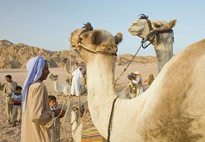 Bedouins And Their Camels Print by Ashley Cooper