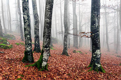 Beech Forest With Fog In Autumn Print by Mikel Martinez de Osaba