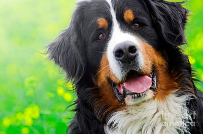 Canine Photograph - Bernese Mountain Dog Portrait by Michal Bednarek