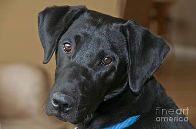 Black Labrador Puppies Photograph - Black Lab by William H. Mullins