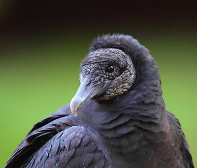 Black Vulture Portrait Print by Bruce J Robinson