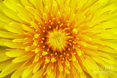 Bloom Of Dandelion Print by Michal Boubin