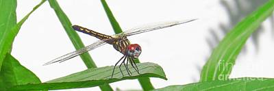 Dragonflies Photograph - Blue Dasher by Scott Cameron