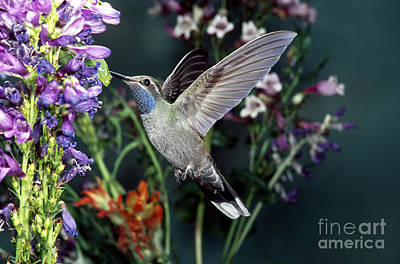 Nectaring Bird Photograph - Blue-throated Hummingbird by Anthony Mercieca