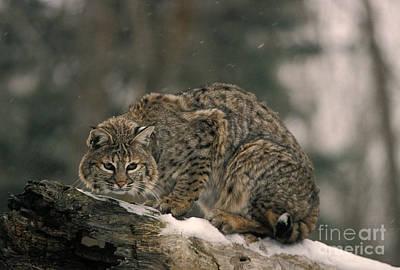Bobcat Felis Rufus Print by Ron Sanford