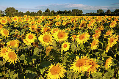 Bright Sunflowers Near Saint Remy Print by Brian Jannsen