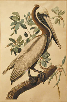 John James Audubon Drawing - Brown Pelican by John James Audubon