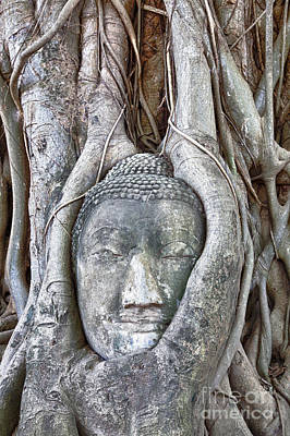 Statue Portrait Photograph - Buddha Head In Tree by Fototrav Print