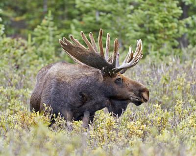 Moose Photograph - Bull Moose In Velvet by Gary Langley