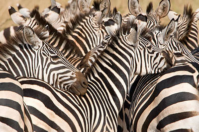 Of Zebras Photograph - Burchells Zebras Equus Burchelli by Panoramic Images