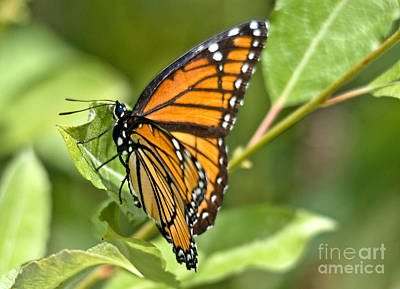 Nature Photograph - Busy Butterfly by Cheryl Baxter