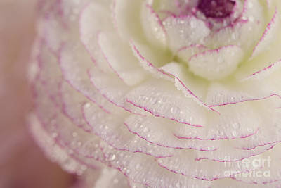 Ranunculus Photograph - Buttercup Flower With Dew by Nailia Schwarz