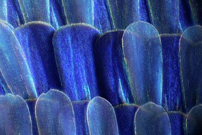 Arthropod Photograph - Butterfly Wing Scales by Frank Fox