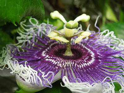 Galleries On Line Photograph - Byron Beauty Passion Flower by Ron Davidson