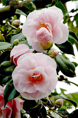 Camellia Flowers Camellia Japonica Print by Dr. Keith Wheeler