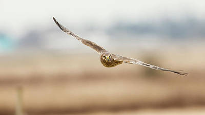 Northern Harrier Photograph - Canada, British Columbia, Boundary Bay by Rick A Brown