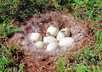 Goose Photograph - Canada Goose Eggs by Millard H. Sharp